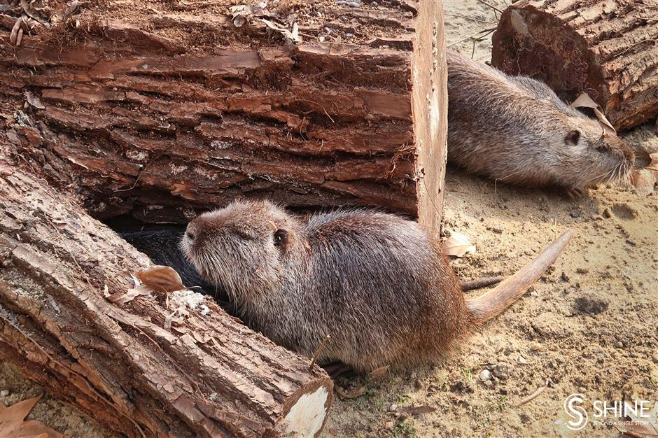 Shanghai Zoo ready to welcome Year of the Rat