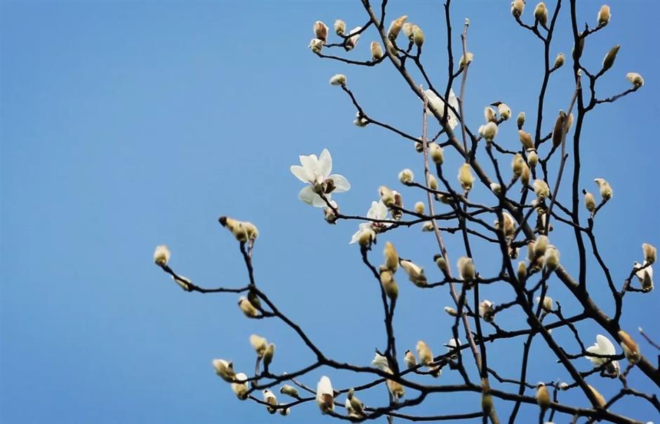 Warm winter brings forth early magnolia blossom