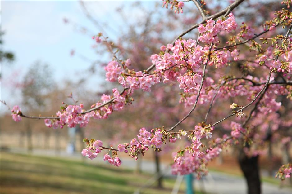 Parks are online as cherry trees blossom