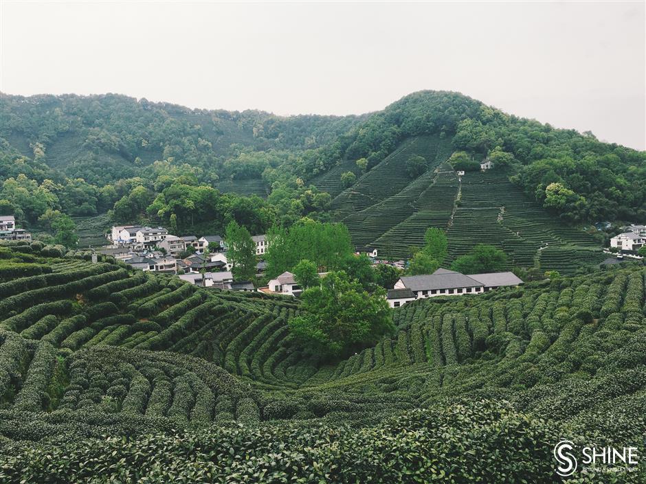Virus complicates Hangzhou's tea harvest