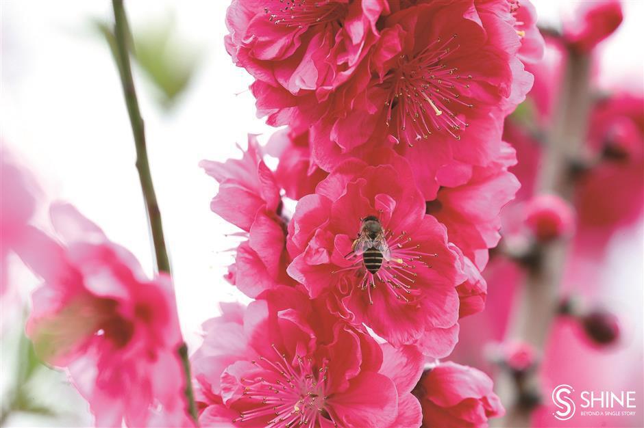 Shanghai begins to bloom in the spring air