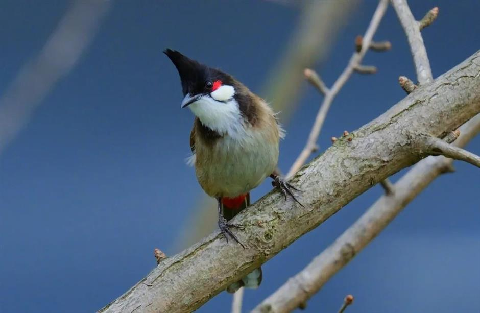 Bird species becomes new 'resident' of Shanghai