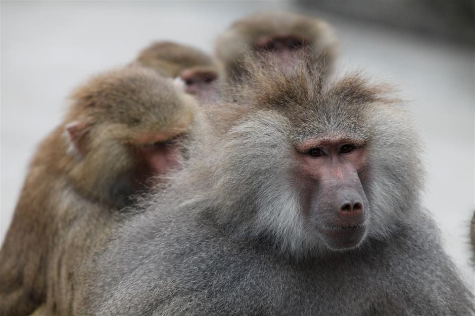 Stop feeding the baboons say zoo keepers