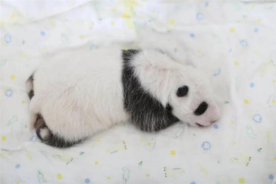 Boy panda is a handful, from tiny cub to 'little fatty'