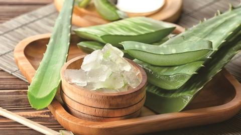 Many Uses and Easy to Grow Medicinal Natural Healing Edible Aloe Vera Barbadensis Miller