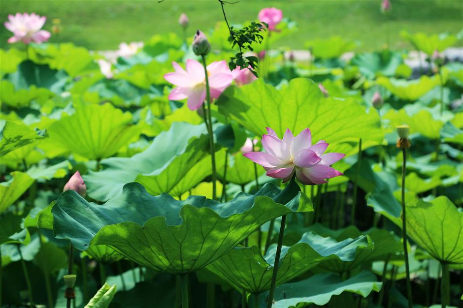 It's blooming lovely in city parks as lotuses and water lilies flower