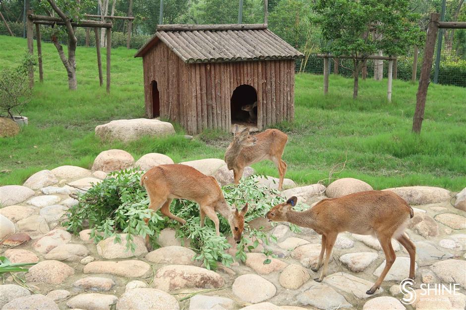 Shanghai Zoo presents 13 river deer babies