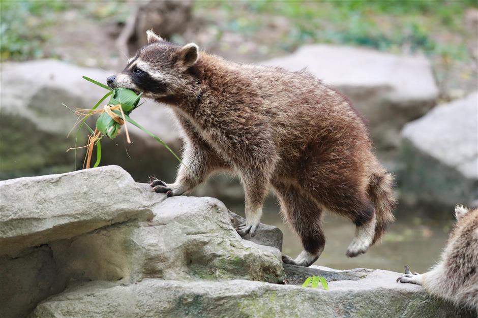 Zoo critters enjoy festival feast zongzi