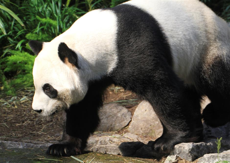 Canada pandas running on empty as bamboo dries up