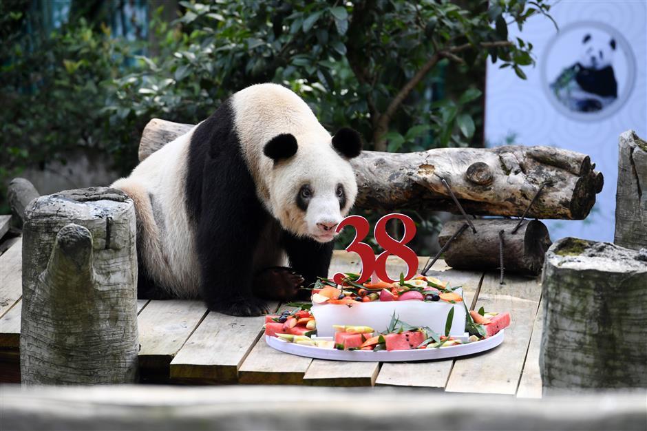 Worlds oldest captive giant panda celebrates 38th birthday