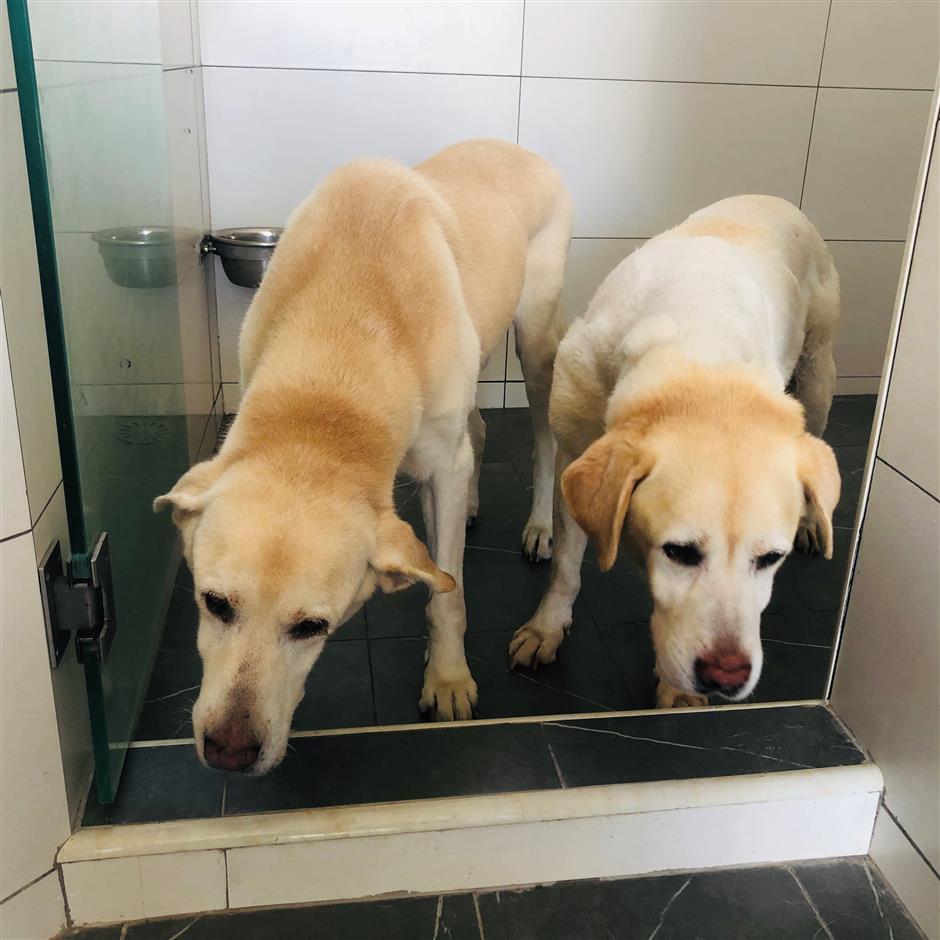 Ils ont aidé les aveugles.  Qui suit maintenant ces chiens-guides vieillissants?