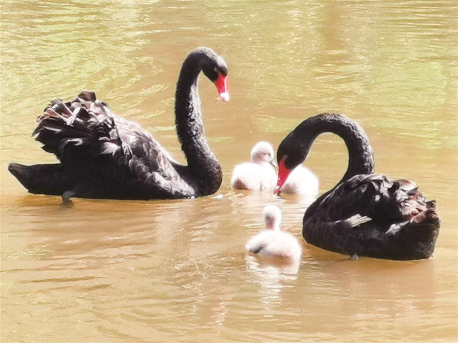 Baby swans a delightful sight for Laidun residents