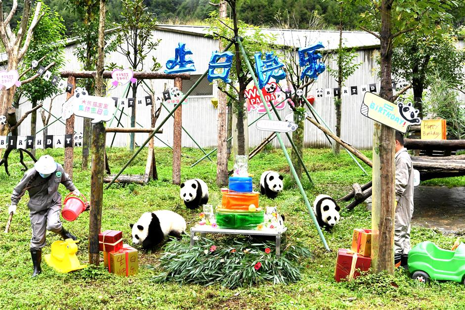 Group birthday party held for SW China panda cubs