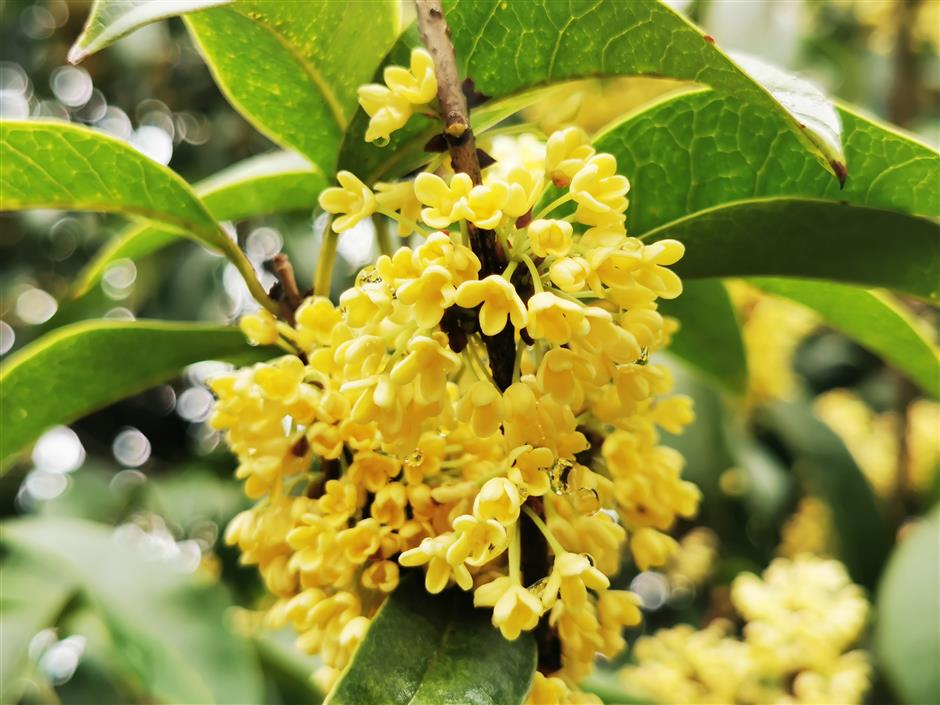 City filled with sweet smell of osmanthus