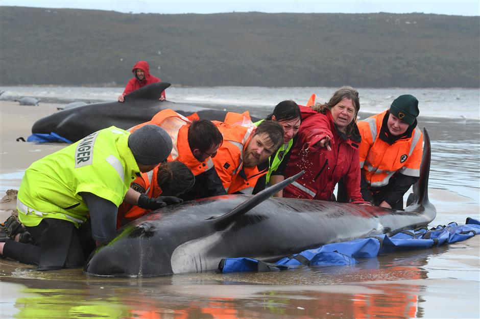 Race to save over 200 beached whales