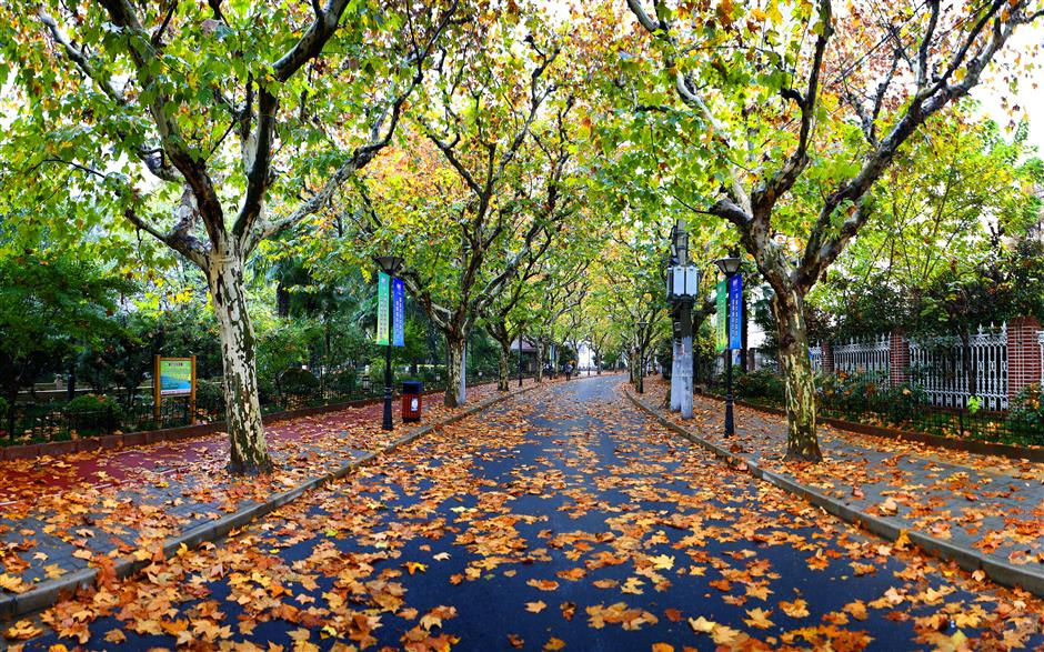 Shanghai streets carpeted in vibrant foliage