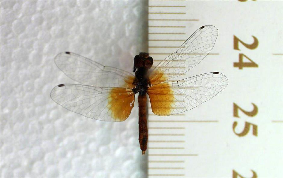 Chinese museum discovers worlds smallest dragonflies