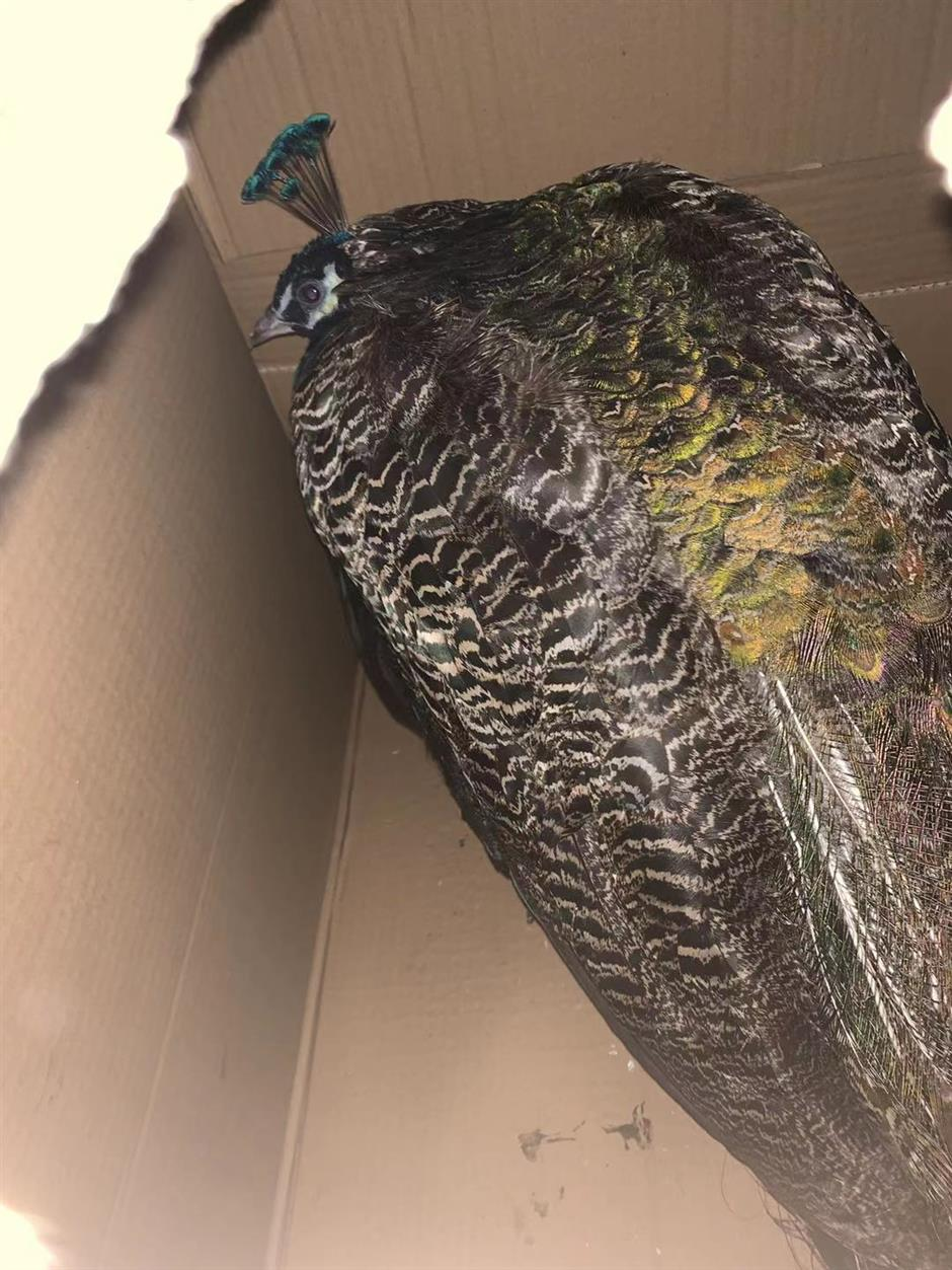 Peacock found sheltering in Metro station