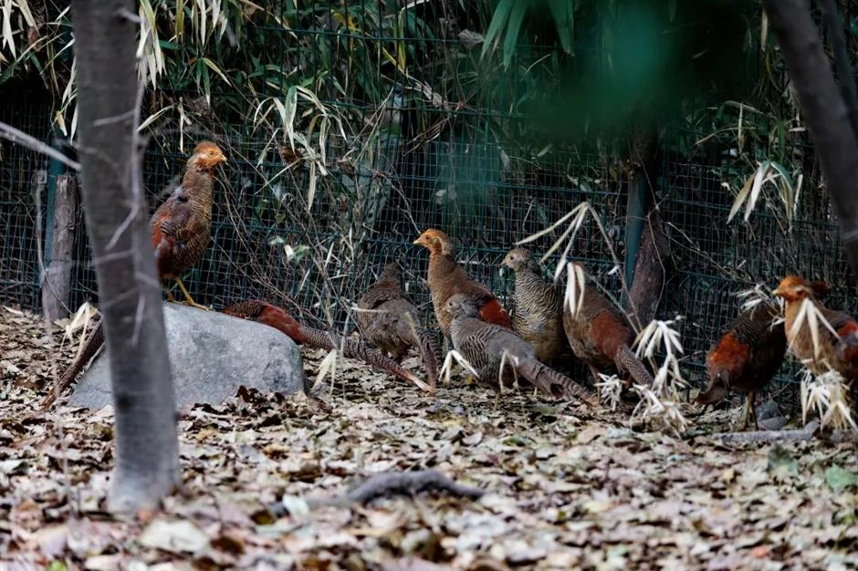 Cute penguins, brightly colored pheasants on display at city parks