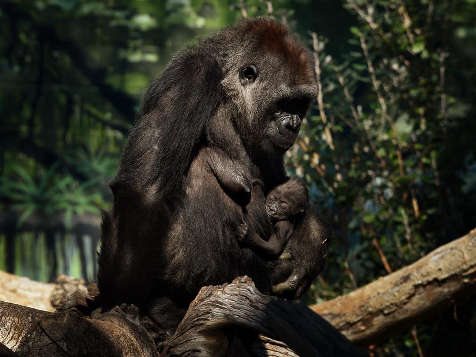 Gorillas in US zoo test positive for coronavirus