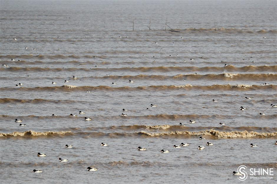 One-day record of 60,000 birds in Lingang area