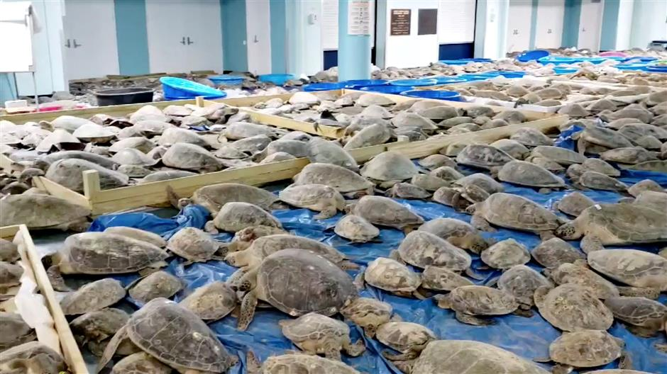 Freezing locals step up to save sea turtles