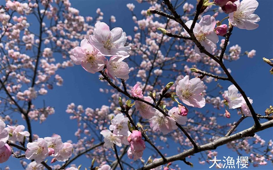 Its blooming lovely as cherry trees flower early