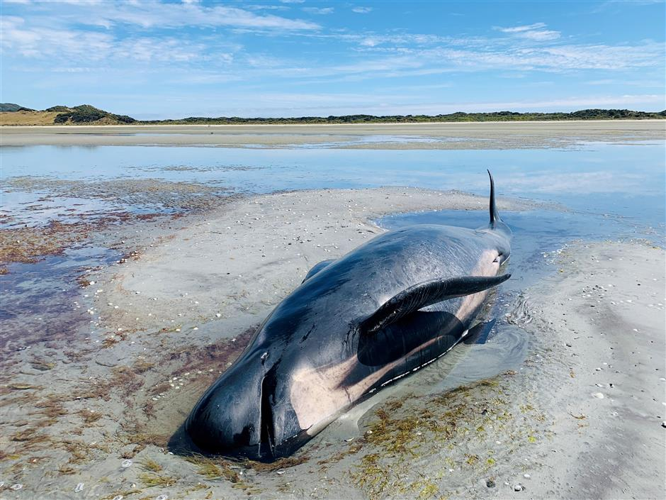 Another sad Farewell for whales in New Zealand