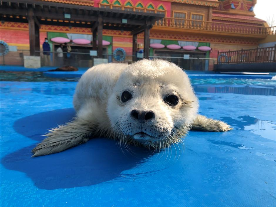 First baby spotted seal for Pudong ocean park