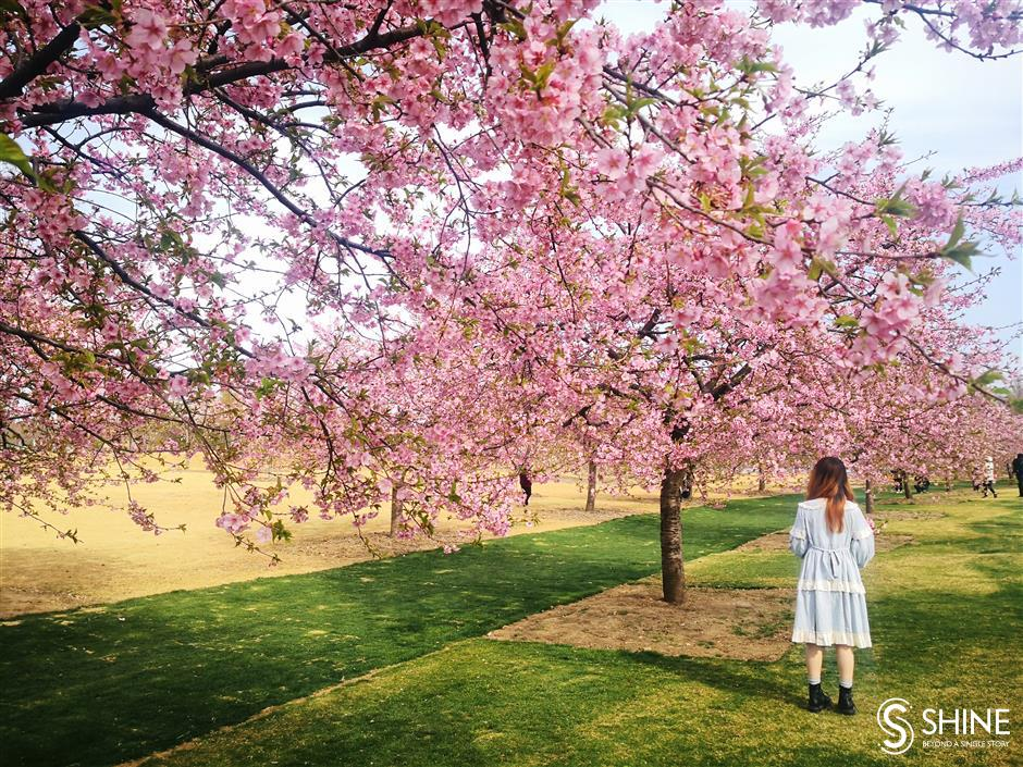 Cherry blossoms in full bloom earlier than usual