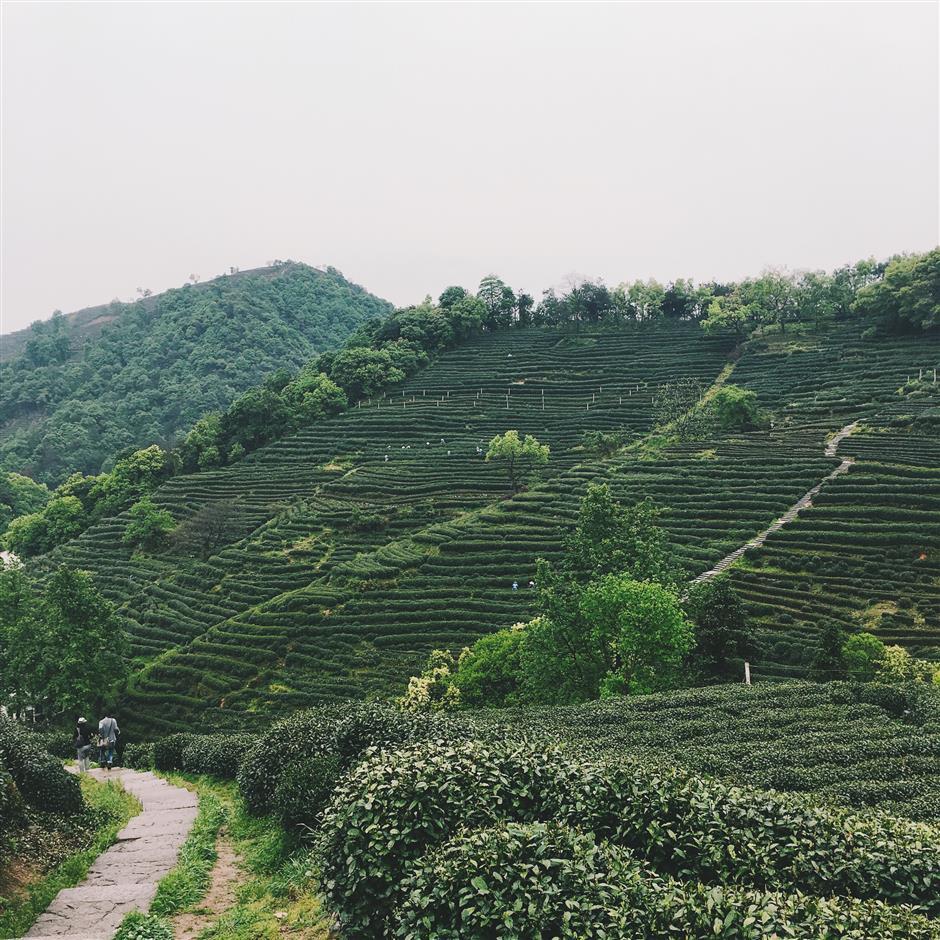 Upcoming harvest season for Hangzhou Longjing tea looks promising