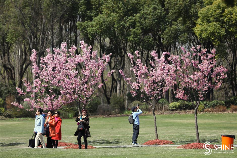 Baoshan cherry blossom festival about to bloom