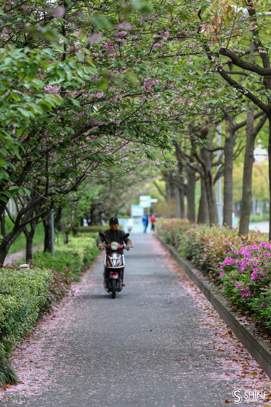 Cherry blossom left to beautify city roads