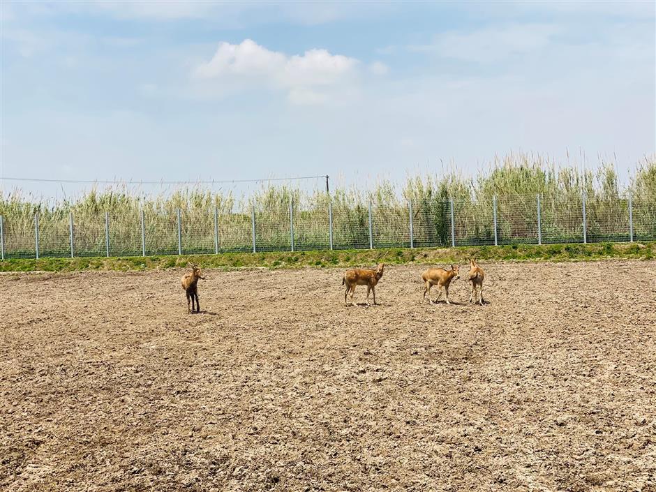 Chongming Island creates habitat for elks