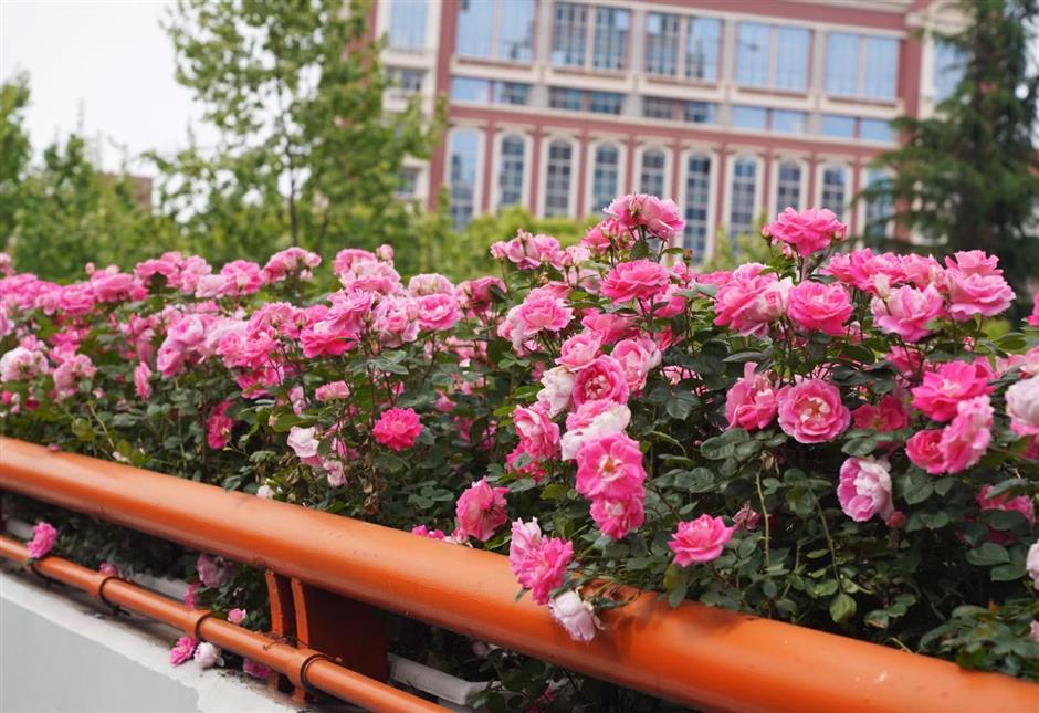 Chinese roses in full bloom around Shanghai