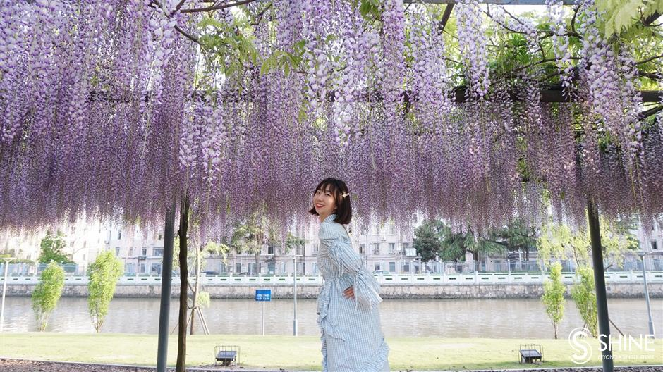 Wisteria in full bloom in Jiading District