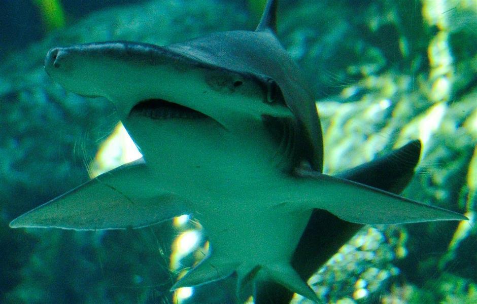 New study sheds light on sharks navigation