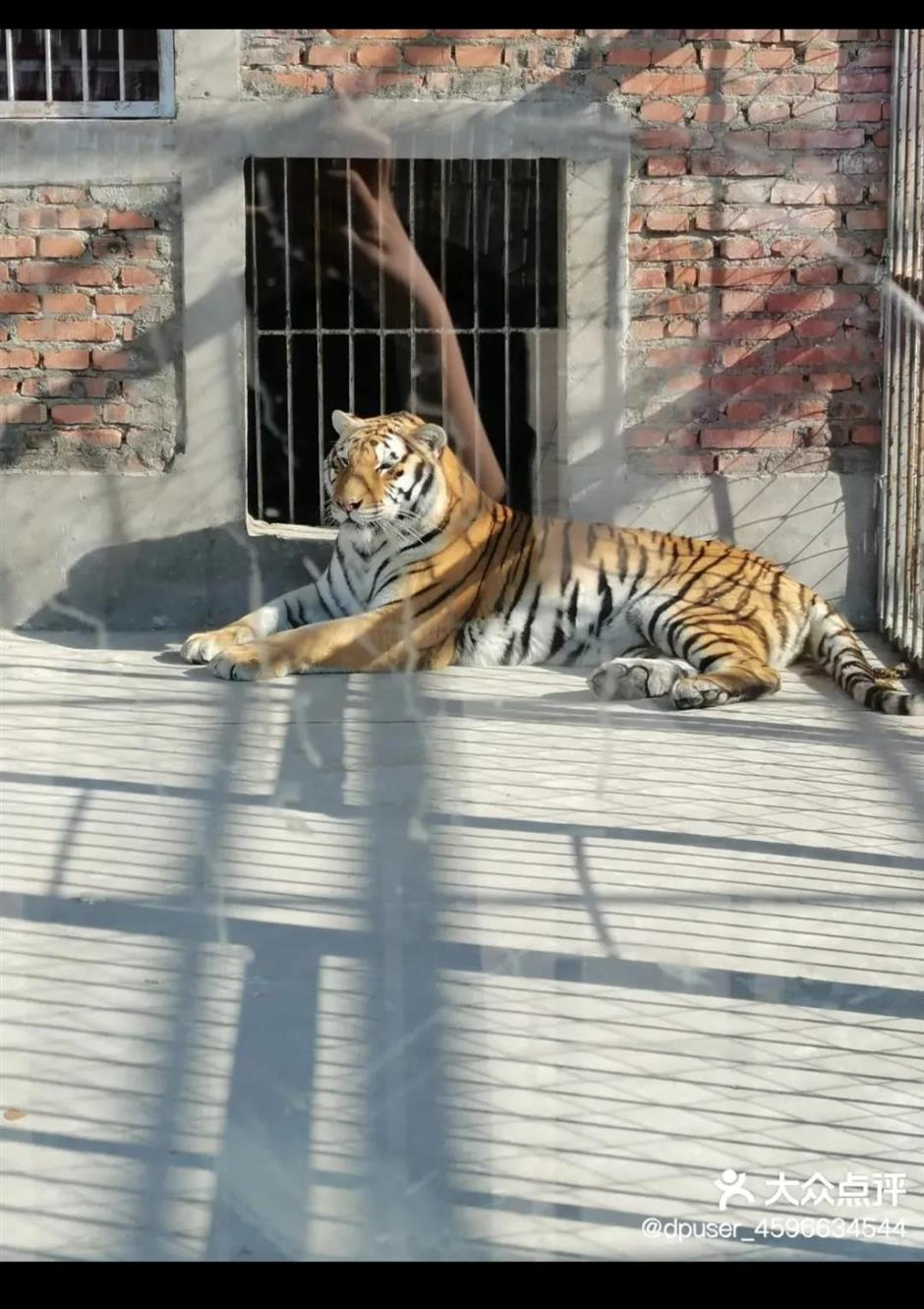 Escaped tigers shot dead after keeper killed
