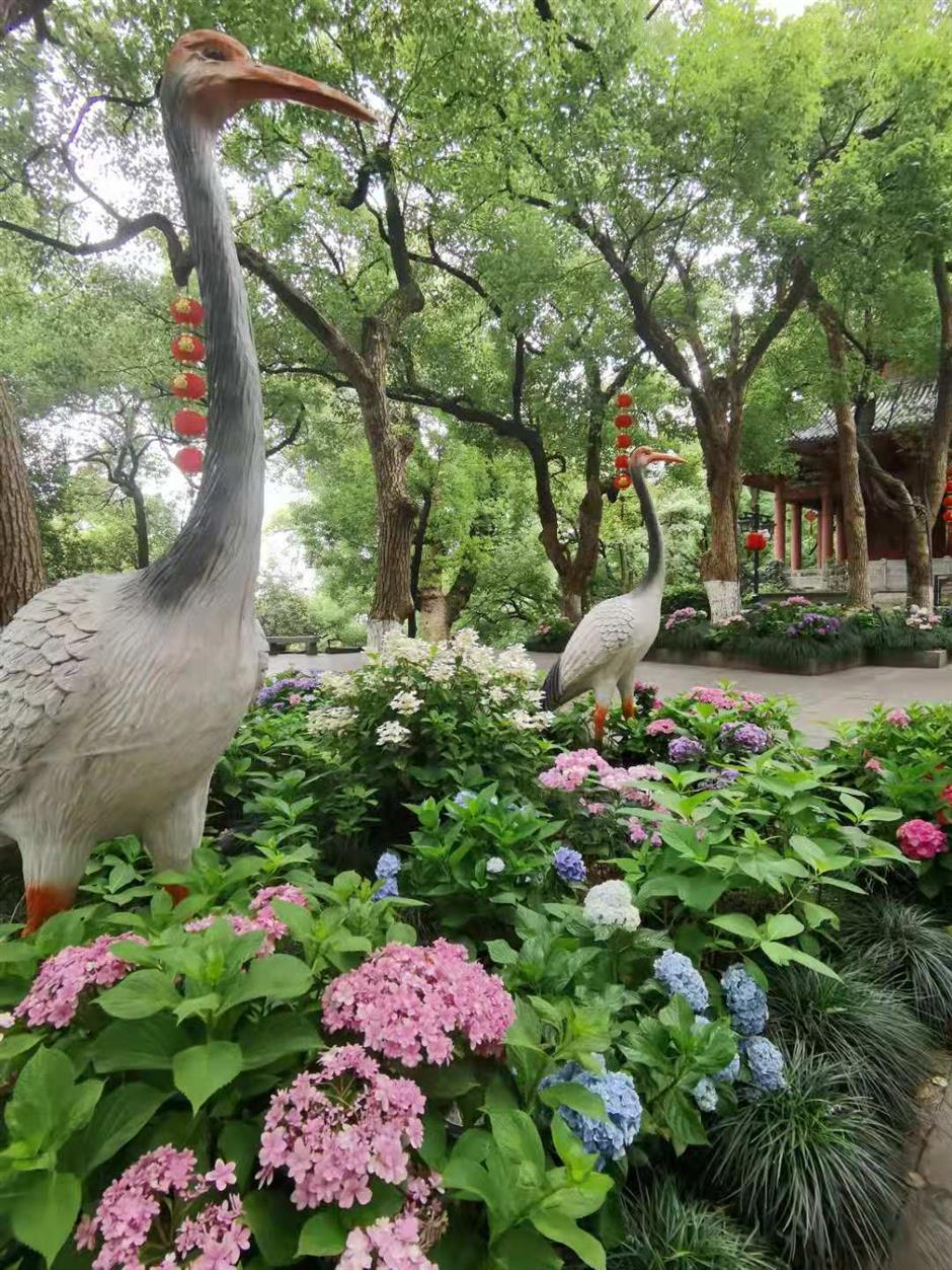 Hydrangea summer ritual in blossom in Hangzhou