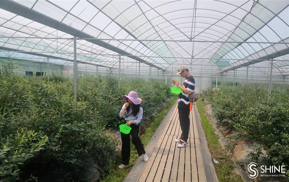 Blueberries ripe for picking in Qingpu District