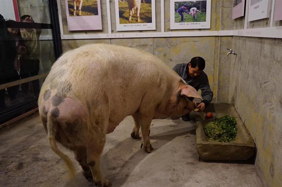 Legendary pig that survived Wenchuan earthquake dies of old age