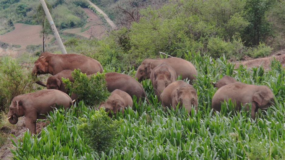 Wandering elephants symbol of heightened ecological awareness