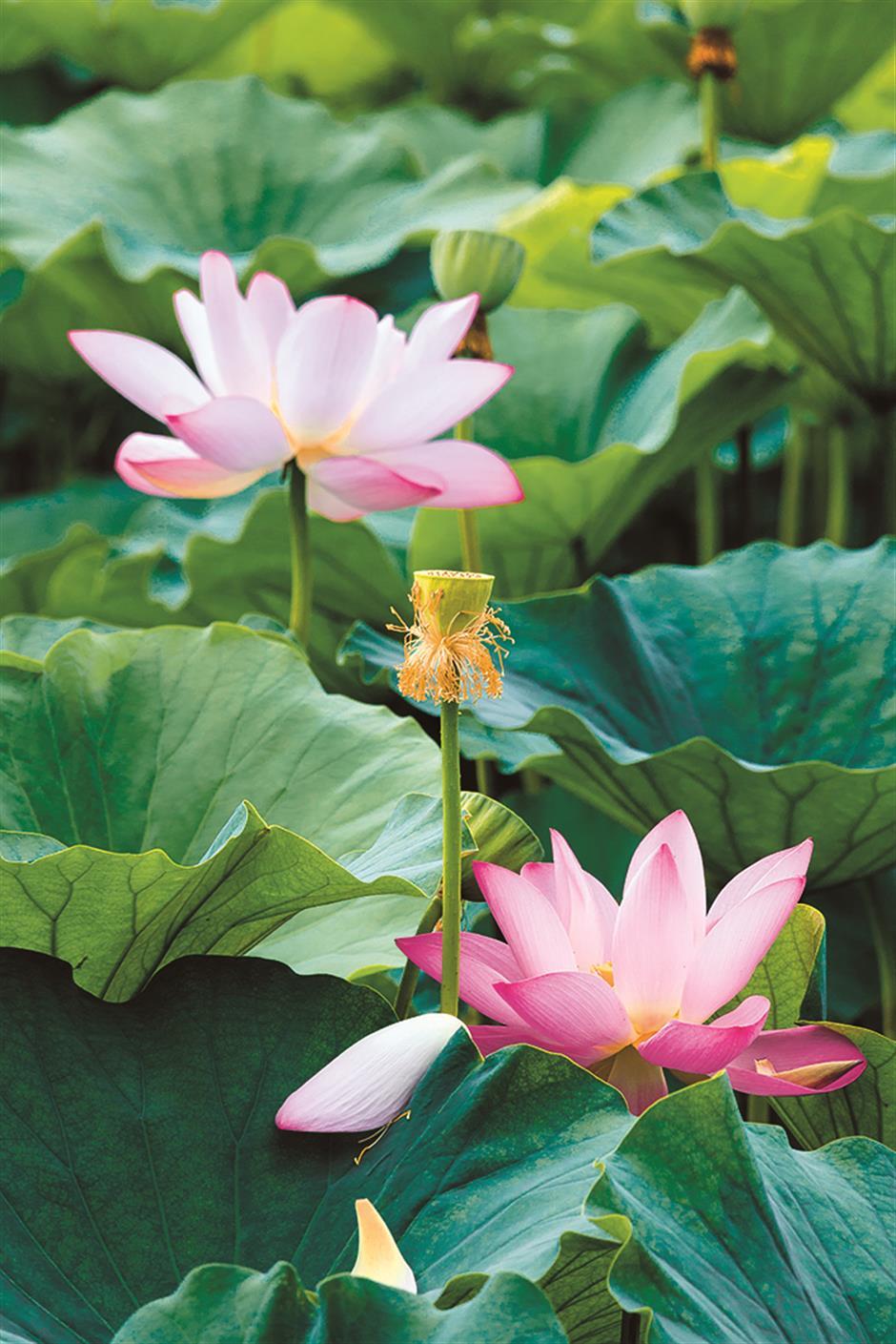 Beautiful and delicious lotus: culinary splendor of lotus plant