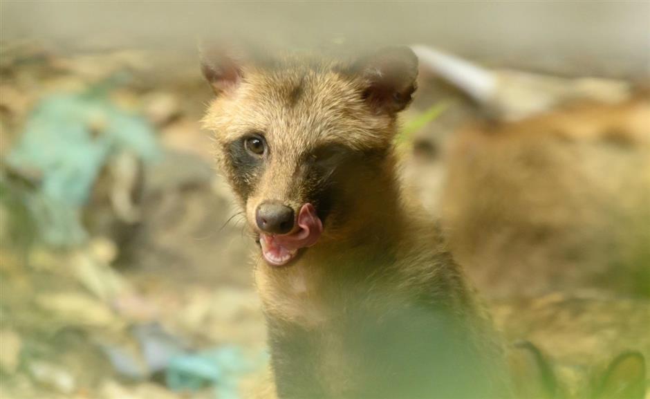 Raccoon dogs in residential areas: misunderstood urban interlopers