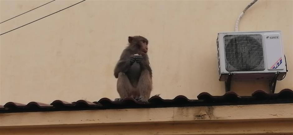 Macaque on the run trashes homes in suburban district