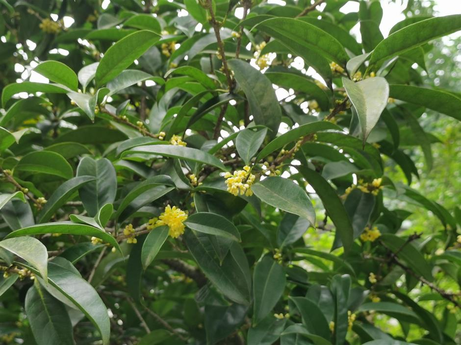 First bloom signals late start to osmanthus season