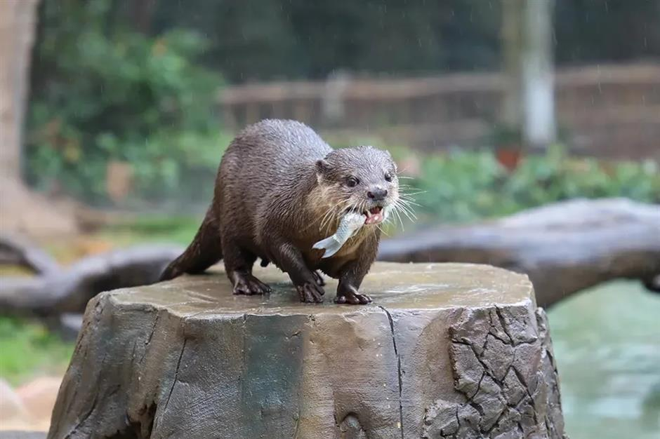 Celebrity otter gets pennant of honor for mobile-saving deed